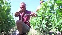 Des slips dans les vignes pour étudier le sol