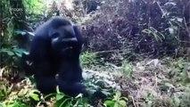 Nés en Loir-et-Cher, les gorilles s'acclimatent-ils à l'Afrique ?