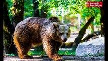 VIDEO. Niort : Kiwi l'ours de Jean-Jacques Annaud à Zoodyssée