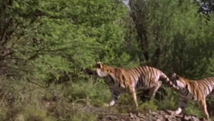 Tiger How To Hunt In The Wild Deer