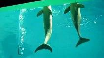 Deux dauphins viennent aspirer l'oxygène d'un tuyau dans l'aquarium