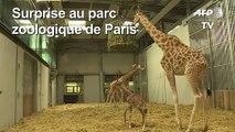 Un girafon né au parc zoologique de Paris