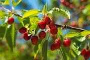 Vos Questions Jardin: Mes feuilles de cerisiers sont dévorées par des insectes