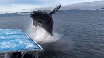 Une baleine fait un beau cadeau à ces touristes... Saut magnifique