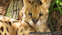 Handsome Kricket is relaxing the day away. Don't you just love those giant serval ears?