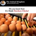 Amazing Video ! Baby Chick Hatching, Egg Hatching