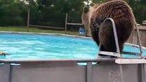 Cet ours se jette dans la piscine pour se rafraîchir