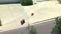 Une ourse et son petit se promènent dans une banlieue de Los Angeles