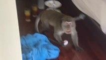 Toerist heeft confrontatie met aapje in hotelkamer