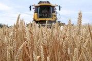 DNA - En Alsace, le blé se porte bien malgré la canicule (été 2019)