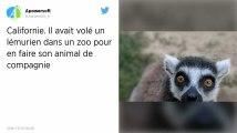 Californie : Il avait volé un lémurien dans un zoo pour en faire son animal de compagnie