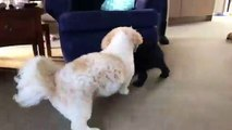 Lad makes dogs play fighting in to a dramatic fighting scene