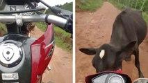 Une vache met un gros stop à un motard qui fait une roue arrière