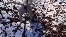 Ce chien n'a pas peur des loups et veut jouer avec eux