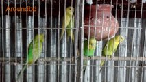 bird chirping sound effect  birds sounds   amazing natural bird sounds