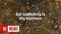 Eel trafficking fast becoming major wildlife crime