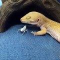 Cet insecte défie un lézard de le manger. A mourir de rire !