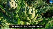 Vos Questions Jardin: Les feuilles de mes artichauts jaunissent