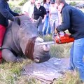 Ces vétérinaires découpent les cornes des rhinocéros pour les protéger des braconniers