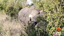 Une lionne s'en prend à un éléphant... Images impressionnantes