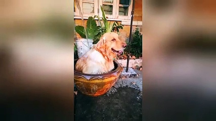 Golden retriever cools off inside clay basin in Thailand