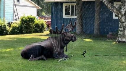 Hitzewelle in Alaska: Elch erfrischt sich an Rasensprenger