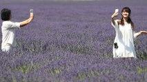 Les champs de lavande piétinés par les instagrameurs : le ras le bol des producteurs
