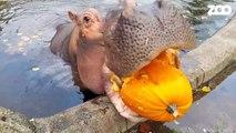 Cet hippopotame aime beaucoup les citrouilles... Miam miam
