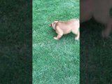 Excited Bulldog Dramatically Rolls Around in Yard