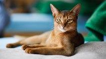 Cómo cuidar y limpiar los oídos del gato