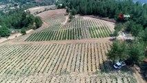 Muğla 'Koku Vadisi'nde ilk lavanta hasadı havadan görüntülendi