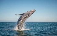 Comment les baleines sont-elles devenues des animaux géants ?