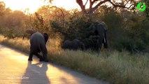 Deux jeunes éléphanteaux jouent au milieu de la route. Trop mignon