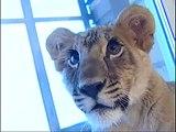 Vivre avec un lionceau de compagnie... Pourquoi pas