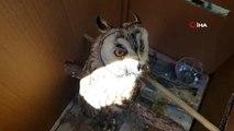 Ölmek üzere olan boynuzlu baykuş 15 günde sağlığına kavuştu