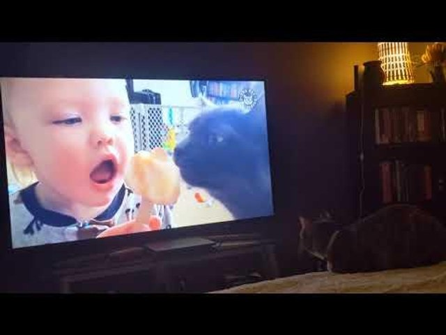 Cat Intensely Watches Videos of Pets