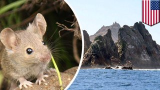 Wildlife officials may soon dump rat poison on the Farallon Islands