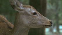 Japan's famous Nara Park deer are dying from eating plastic