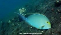 doris chirurgien fish in bali with thailand diving club pattaya