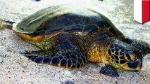 Keterlaluan! Warga lokal menunggangi kura-kura yang hampir punah - TomoNews