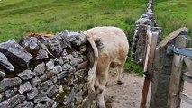 """Cette vache se gratte le """"dos"""" contre un mur lol"""