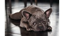 World Class Rare Color French Bulldogs - How To Choose And Care For A French Bulldog