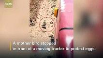 Une maman oiseau se place devant un tracteur en mouvement pour protéger ses oeufs