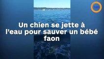 Un chien se jette à l'eau pour sauve un bébé faon