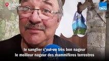 Pourquoi ce n'est pas (trop) anormal de voir un sanglier nager de Noirmoutier à Pornic