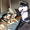 A mourir de rire ! Attendez de voir la réaction de ses chiens face au déguisement de leur maître !