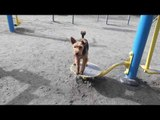 Welsh Terrier Dog Plays with Playground Equipment