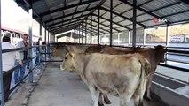 Oltu kapalı hayvan pazarına kavuştu