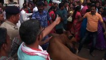 Stubborn bull wanders into crowd during Indian religious festival