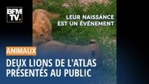 Deux bébés lions de l'Atlas ont été présentés dans un zoo de République Tchèque